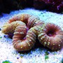corals inverts - lobophyllia hemprichii - brain coral stocking in 45 gallons tank - multicolored lobo
