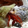 corals inverts - paguristes cadenati - scarlet reef hermit crab stocking in 125 gallons tank - Piggy Backing it.