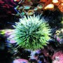 corals inverts - lytechinus variegatus - pincushion urchin stocking in 30 gallons tank - Urchin