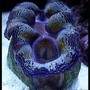 corals inverts - tridacna sp. - tridacna clam stocking in 125 gallons tank - Clam