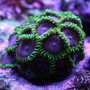 corals inverts - palythoa sp. - purple people eater stocking in 125 gallons tank - Zoanthids (PHE) (Purple Hearted)