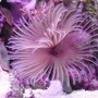 corals inverts - protula bispiralis - hard tube coco worm stocking in 20 gallons tank - Red feather duster