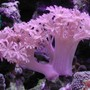 corals inverts - xenia sp. - white pom pom xenia, red sea stocking in 20 gallons tank - Xenia