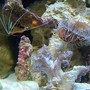 corals inverts - lysmata amboinensis - scarlet skunk cleaner shrimp stocking in 12 gallons tank - Cleaner Shrimp