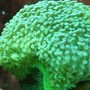 corals inverts - caulastrea curvata - trumpet coral stocking in 29 gallons tank - corals