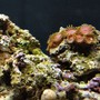 corals inverts - zoanthus sp. - eagle eye zoanthids stocking in 29 gallons tank - Red - Purple Zooanthids