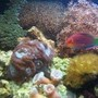 corals inverts - caulastrea furcata - candy cane coral stocking in 12 gallons tank - Zoos, star poylps, candy canes