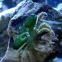 corals inverts - mithrax sculptus - emerald crab stocking in 24 gallons tank - Emerald Crab