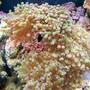 corals inverts - euphyllia paradivisa - frogspawn coral stocking in 55 gallons tank - My Metallic Frogspawn