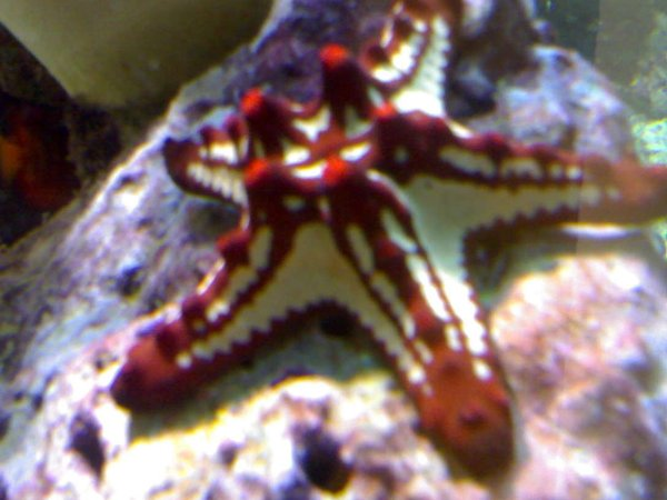 corals inverts - protoreaster linckii - red knob sea star, african stocking in 132 gallons tank - my aquarium10