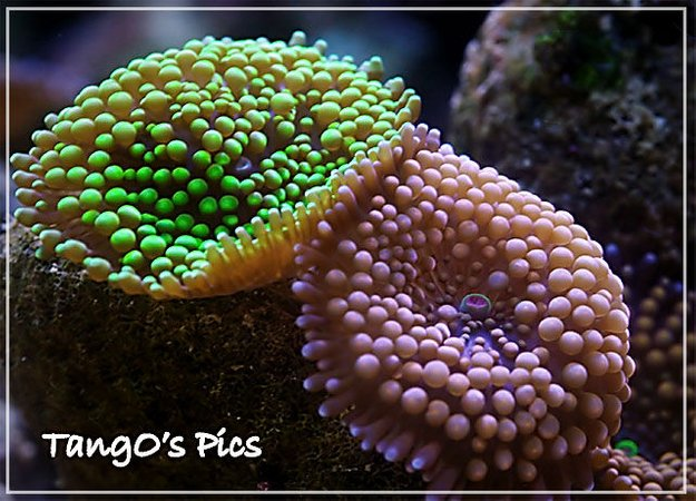 corals inverts - ricordea florida - ricordea mushroom stocking in 150 gallons tank - ricordea floridas