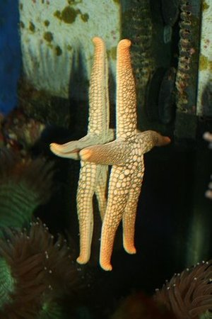 corals inverts - fromia sp. - marble sea star stocking in 40 gallons tank - Orange spotted starfish. He's such a character!