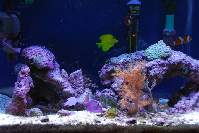 corals inverts - capnella sp. - kenya tree coral stocking in 20 gallons tank - 20 gallon saltwater tank.