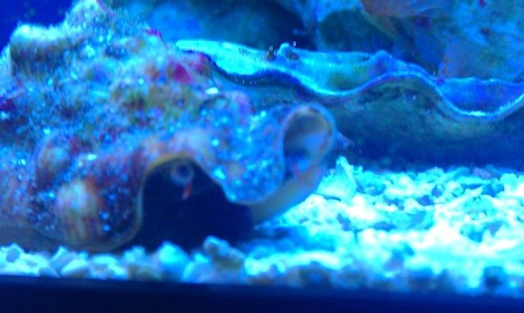 corals inverts - strombus alatus - fighting conch stocking in 72 gallons tank - Carlton the Conch