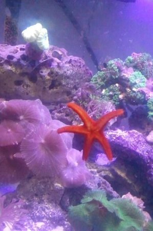 corals inverts - fromia milleporella - red sea star stocking in 2 gallons tank - My red sea star
