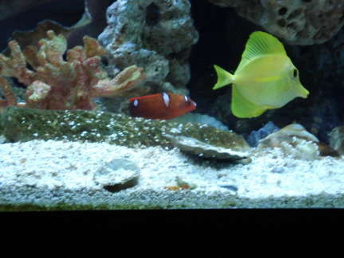 65 gallons saltwater fish tank (mostly fish, little/no live coral) - Yellow Tang and Juv Red Coris Wrasse