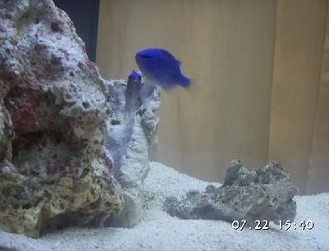 14 gallons saltwater fish tank (mostly fish, little/no live coral) - Blue Damselfish