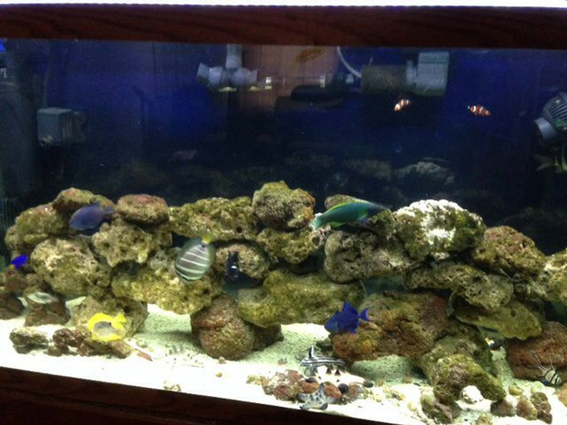 90 gallons saltwater fish tank (mostly fish, little/no live coral) - 90 gallon tank with yellow tank hippo tank paccaso trigger blue dot puffer blue chromie stars and strip puffer clown fish mandarin sail fin tang cardinal