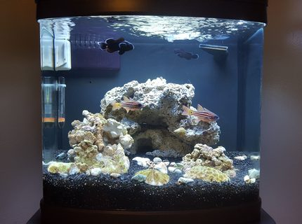 Midnight Black ClownsBlue Eyed Candy Cane CardinalsEmerald crabs Tank is 2 moths old last fish to add will be a goby of some kind new lights coming soon then a few corals