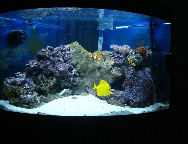 50 gallons saltwater fish tank (mostly fish, little/no live coral) - Juwel Trigon 190 about 5 weeks after purchase.