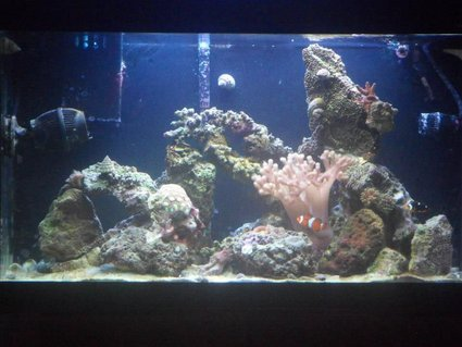 Rated #14: 33 Gallons Saltwater Fish Tank - One Year Old, Always in progress!