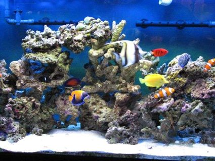 Rated #53: 90 Gallons Saltwater Fish Tank - My 90 Gallons Tank with fishes only