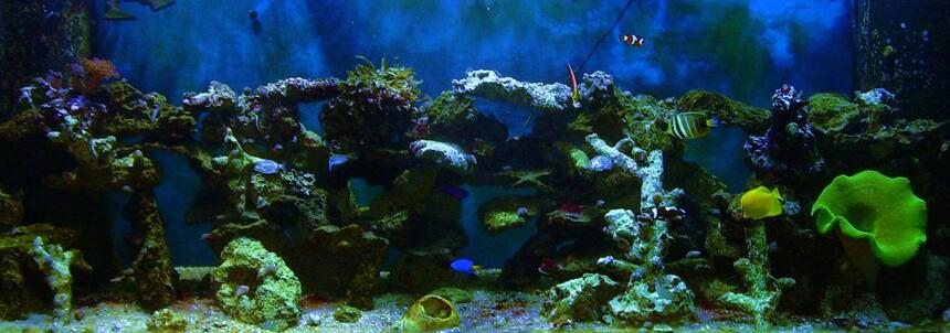 Rated #37: 180 Gallons Saltwater Fish Tank - 180g 1 yellow tang , 1 powder blue tang , 1sailfin tang , 1 docter tang , 3 lawnmowers , 1 radiant wrasse , 1 yellow wrasse , 1 cleaner wrasse , 2 false perculer clowns , 2  saddleback clowns , 1 strawberry basslet , 1 yellow tail blue damsel ,1 purple and yellow damsel ,100s of snails and crabs ,1 sand sifting star , 1 serpent star ,1 green carpet , 1 coral banded shrimp , 1 pepper mint shrimp