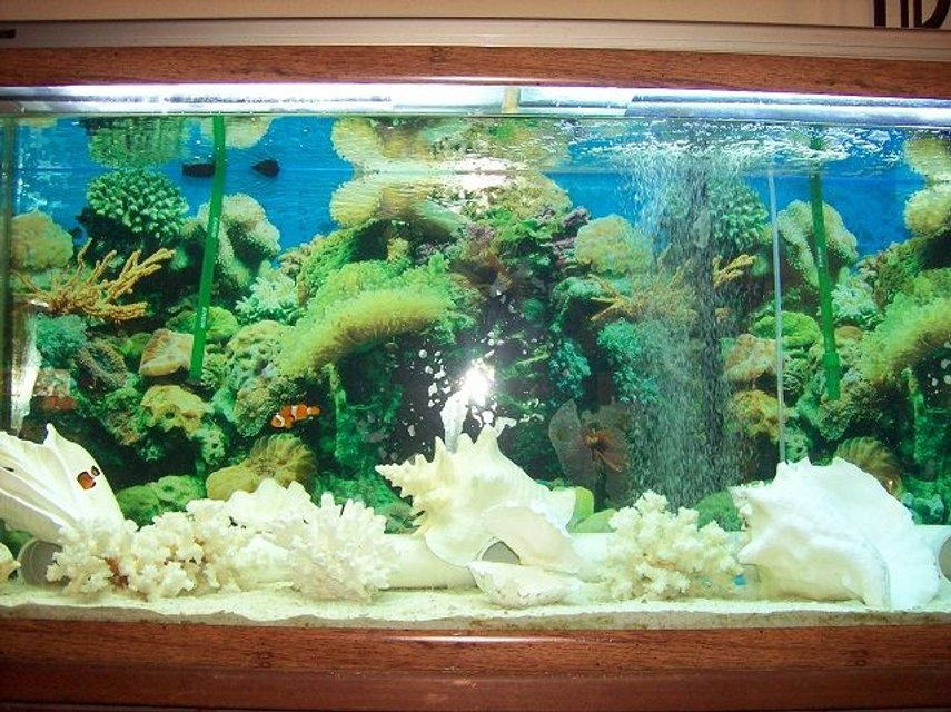 Rated #21: 55 Gallons Saltwater Fish Tank - Saltwater, fish-only tank decorated with fossil coral, conchs, and other misc. shells.  Hope to try a reef tank one day (have the proper lights) but am happy with the current setup (my fish LOVE hiding/living in the shells).  Also in the tank is a snowflake eel and he chooses the large conchs over his pipe home; the clowns fight over who gets which shell.  Very entertaining after a stressful day at work.