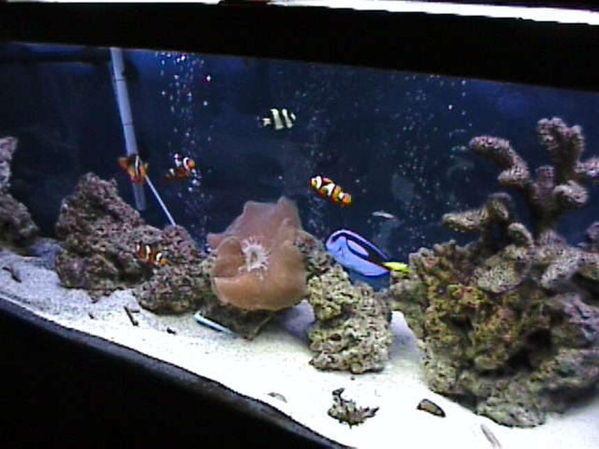 Rated #9: 125 Gallons Saltwater Fish Tank - 125 gallon..  still   growing..  GIVE LOVE TO THE BIG TANKS WHEN YOU RATE THEM. COST ALOT MORE TO MAKE THEM LOOK GOOD.