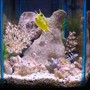 35 gallons saltwater fish tank (mostly fish, little/no live coral) - saddleback puffer, clownfish, yellow tail damsel, longhorned cowfish