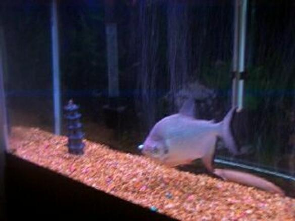Photo #1 - Eel - I Have A Pacu, Spiny Eel, And Firemouth Cic