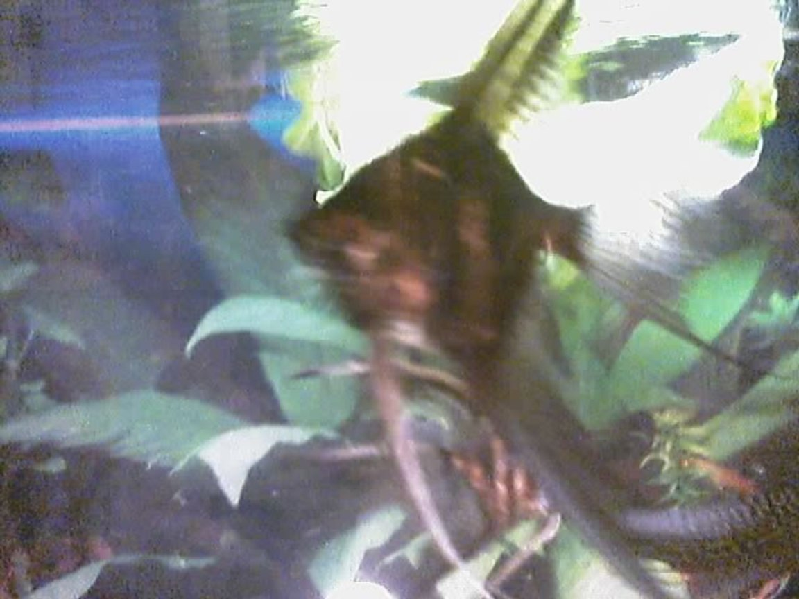 freshwater fish - pterophyllum altum - altum angel- true wild strain - I have about 75 freshwater tanks. I breed Angelfish of all varietys, albino plecos, and many types of guppies. I am also currently breeding red brick and red velvet swords.