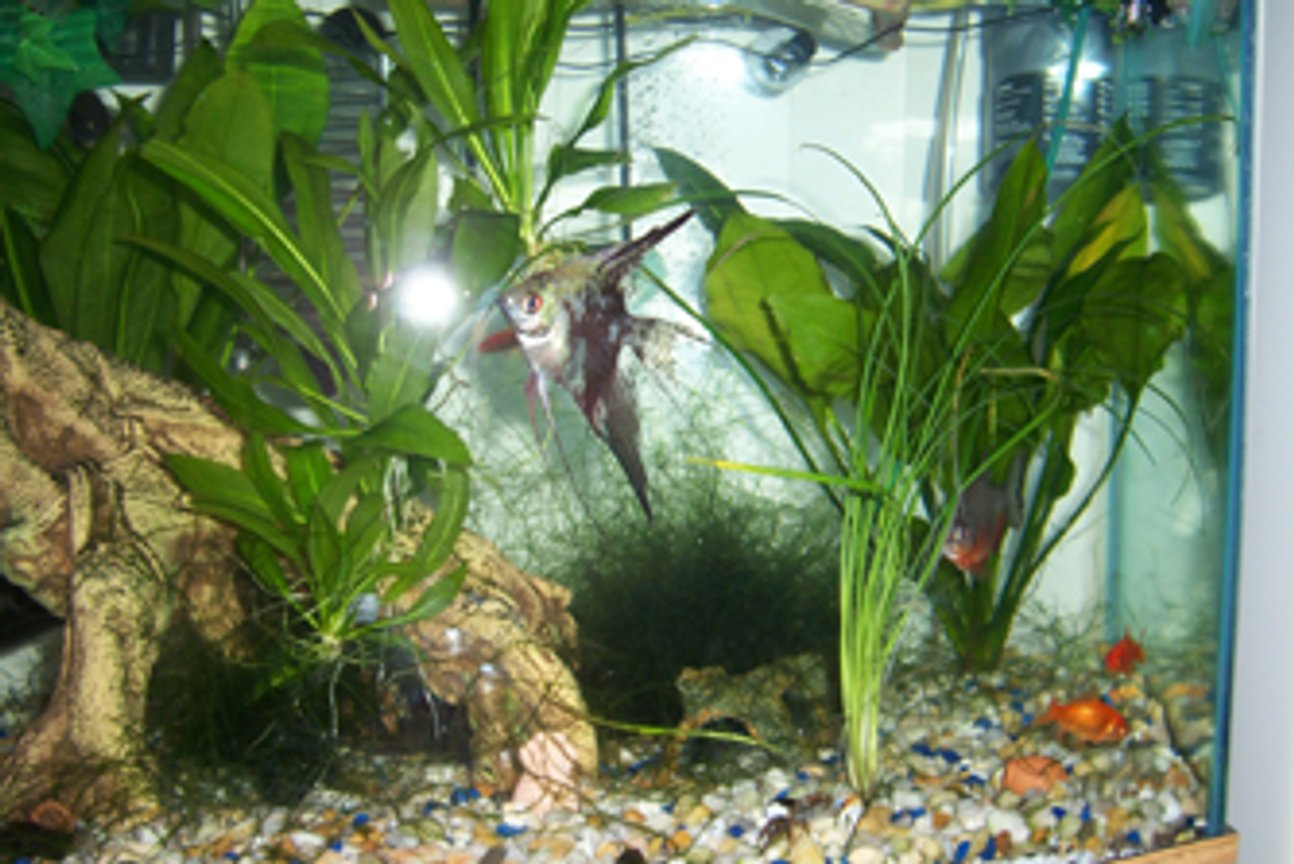 freshwater fish - pterophyllum sp. - koi angel stocking in 46 gallons tank - Here is the Angle Fish and Friends