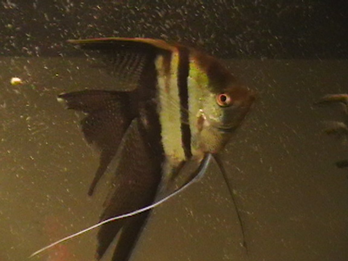 freshwater fish - pterophyllum sp. - koi angel stocking in 100 gallons tank - my fish