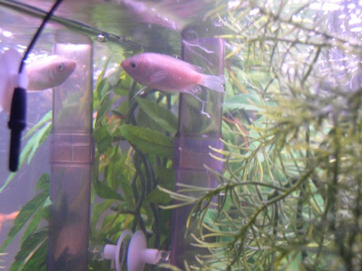 freshwater fish - helostoma temmincki - kissing gourami stocking in 55 gallons tank - This is my Kissing Gourami, his buddy pased away, The puffer attacked him before i moved it to his own 10 gallon tank !!! what a meanie !! look how sad he plays with his refelction