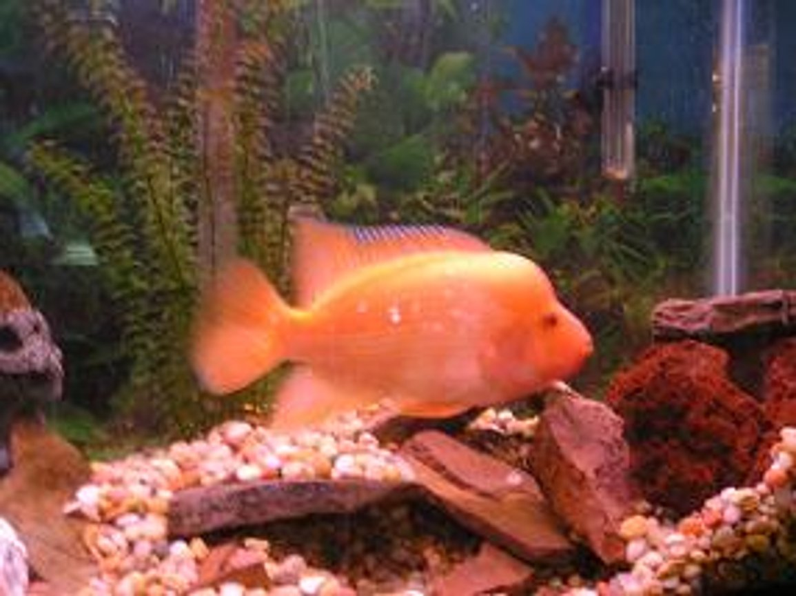 freshwater fish - amphilophus labiatus - red devil stocking in 55 gallons tank - 8 in. Midas Cichlid