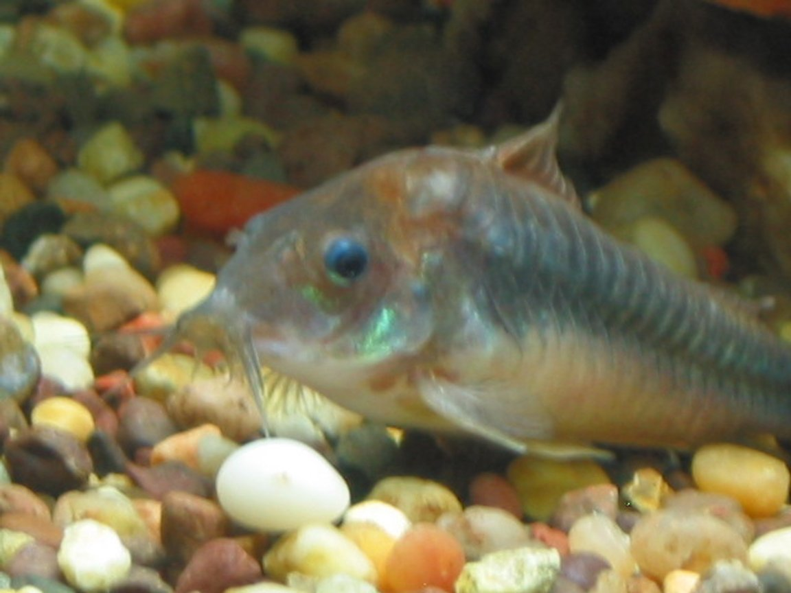 freshwater fish - brochis splendens - emerald green cory cat stocking in 55 gallons tank - emerald cory