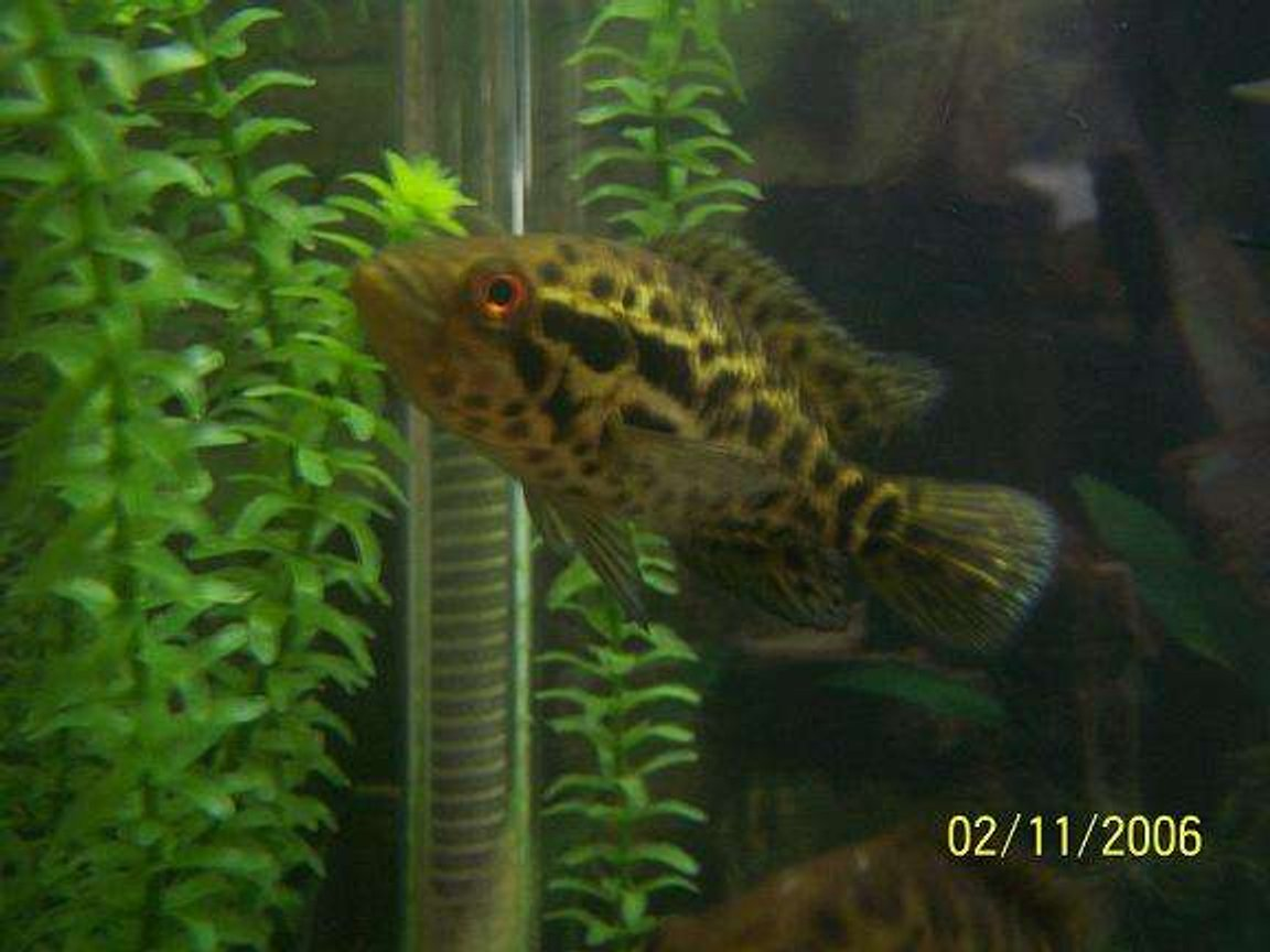 freshwater fish - nandopsis managuense - managuense cichlid stocking in 55 gallons tank - my proud father.