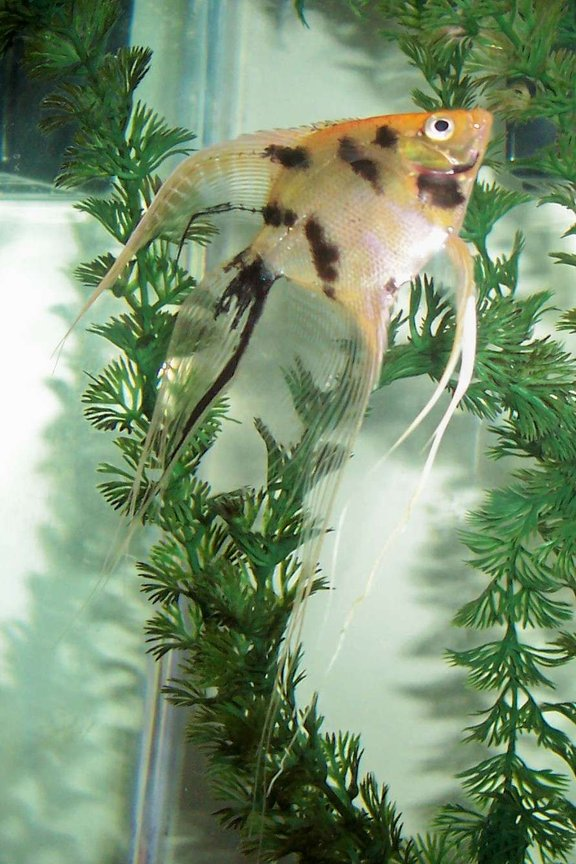 freshwater fish - pterophyllum sp. - marble veil angel stocking in 80 gallons tank - Marble Veil Angel.