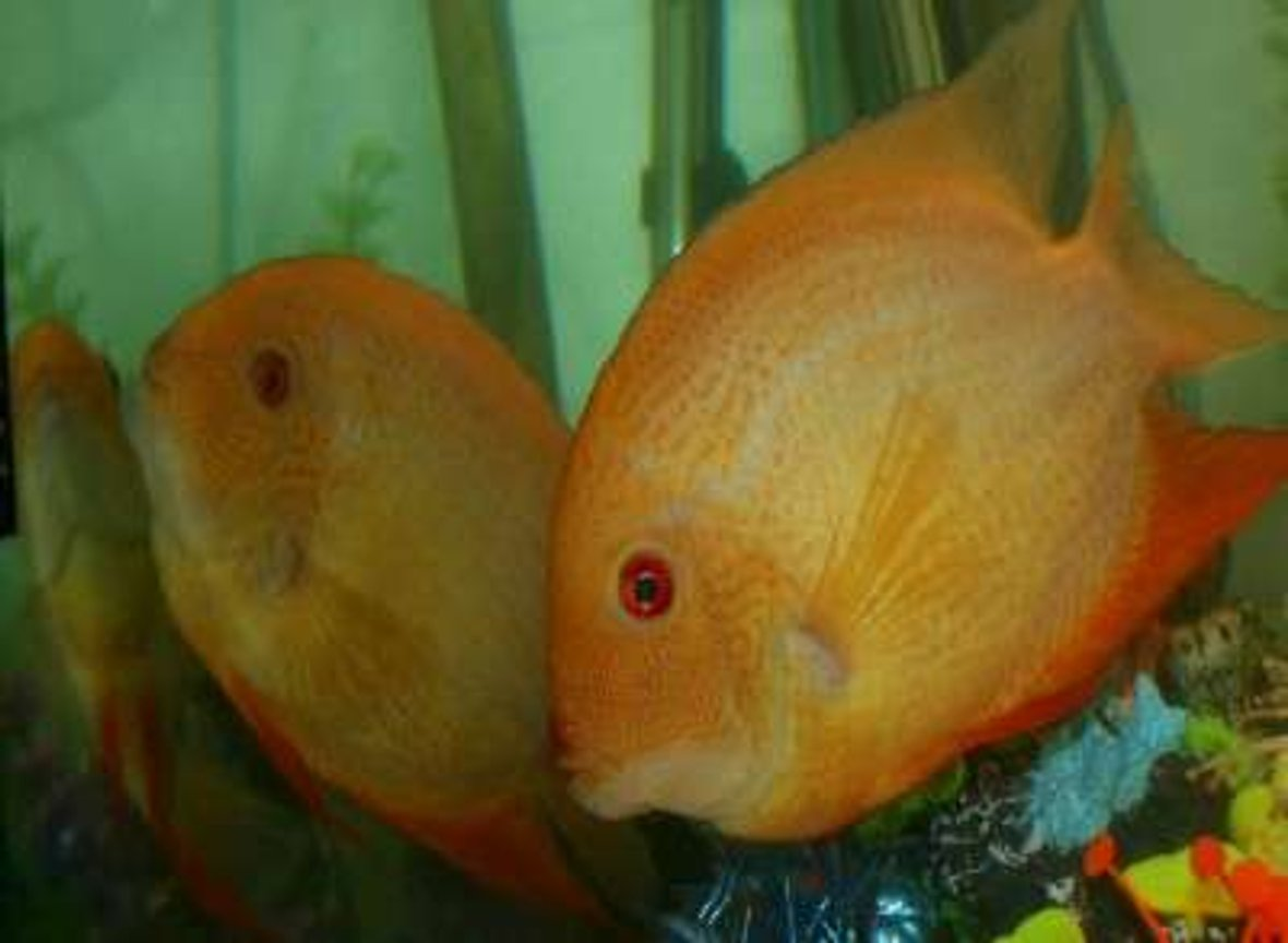 freshwater fish - heros serverus - gold severum stocking in 220 gallons tank - Pair of gold (Cichlasoma severum)