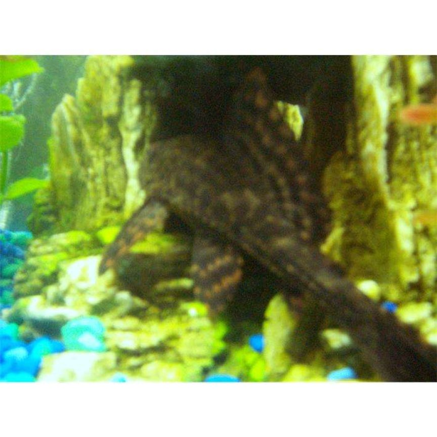 freshwater fish - glyptoperichthys gibbiceps - sailfin pleco (l-83) stocking in 25 gallons tank - pete the pleco