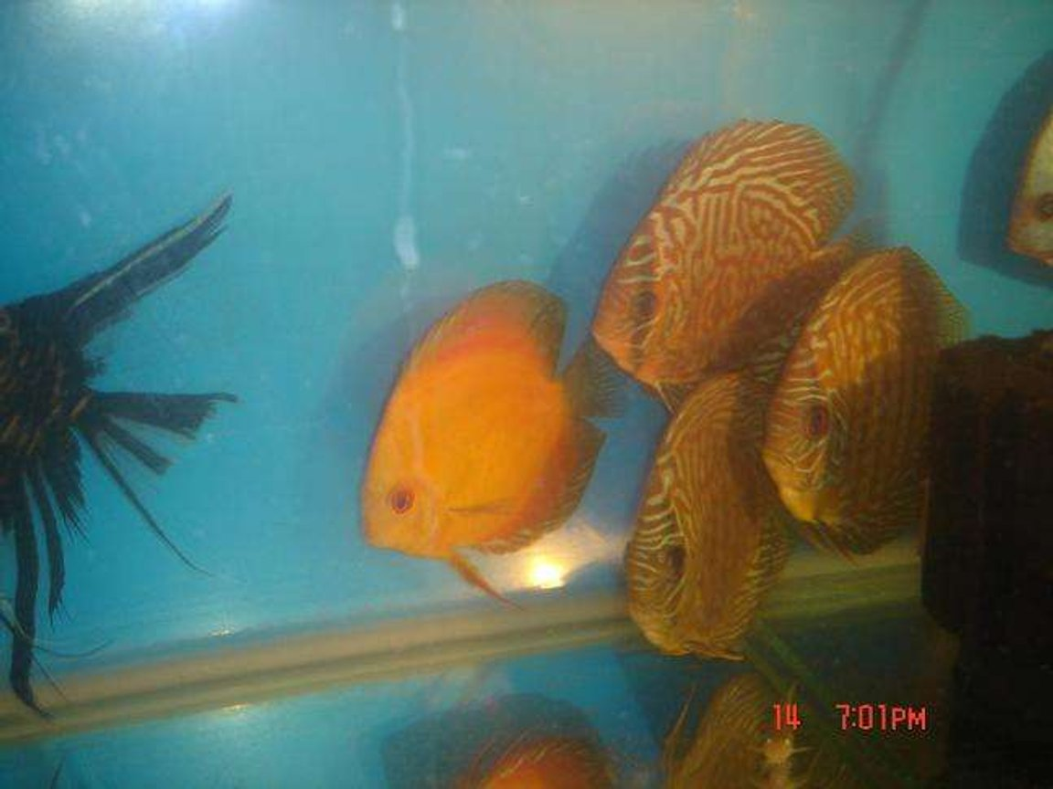 freshwater fish - symphysodon sp. - red leopard discus stocking in 50 gallons tank - four of my young discus