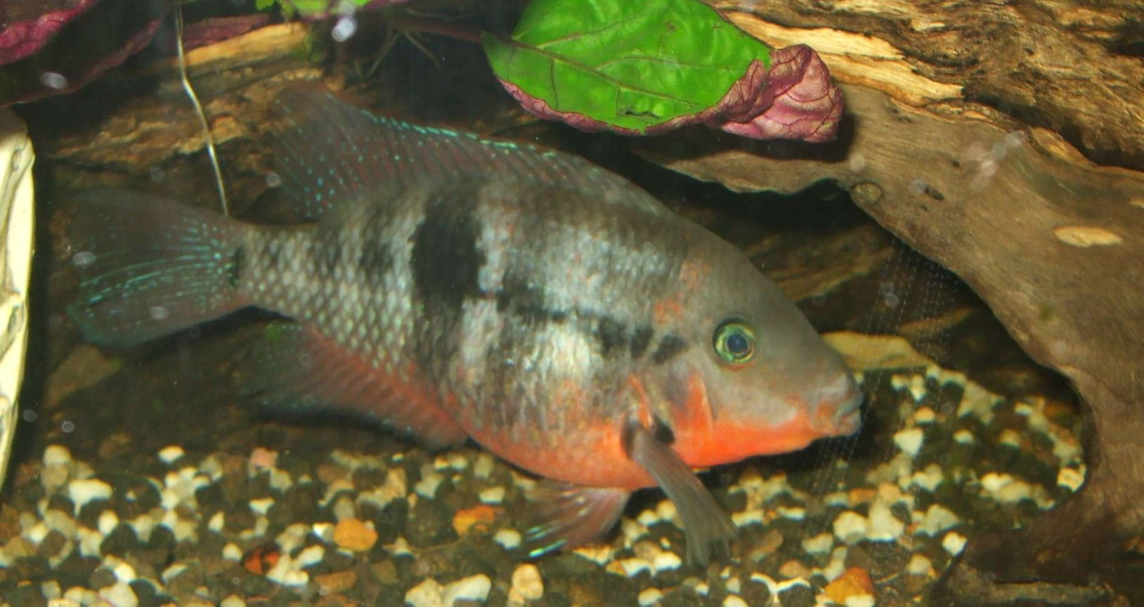 freshwater fish - thorichthys meeki - firemouth cichlid stocking in 90 gallons tank - firemouth also got killed from idiot pouring beer in my tank