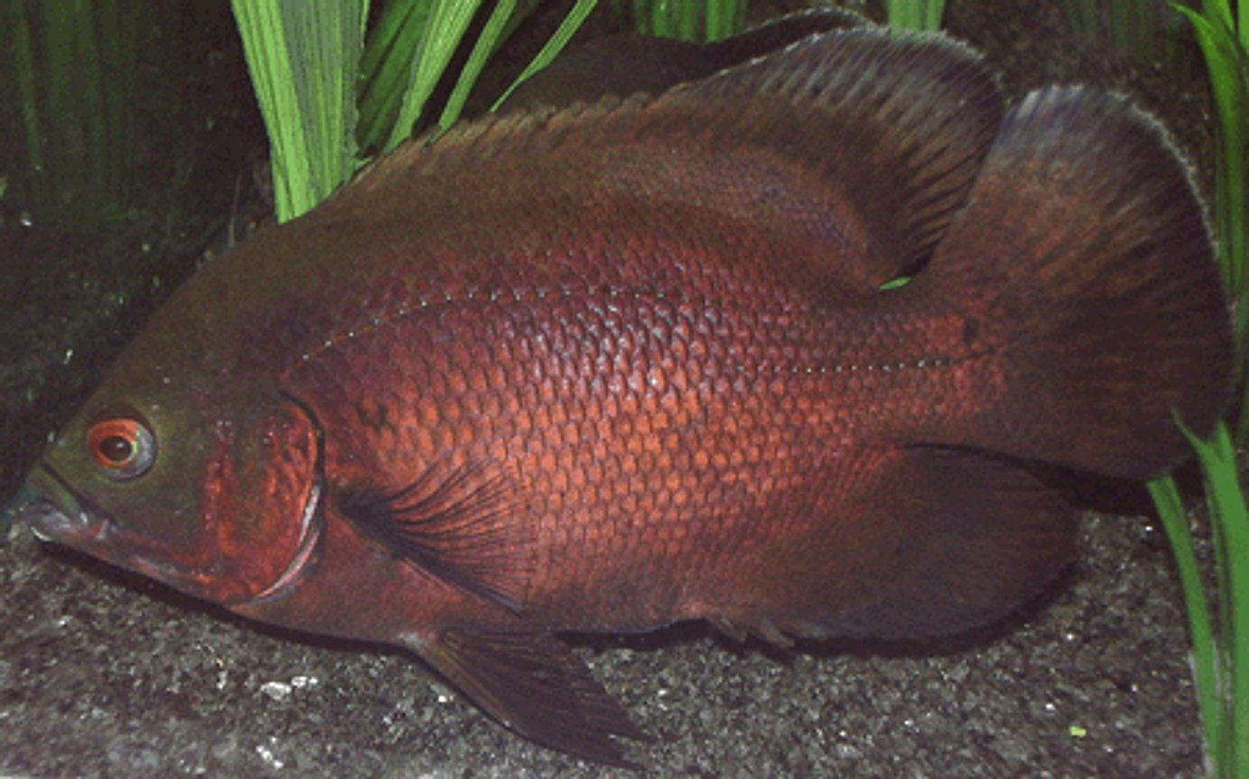 freshwater fish - astronotus ocellatus - red oscar stocking in 265 gallons tank - Red Oscar