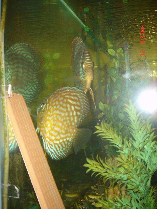 freshwater fish - symphysodon aequifasciata - green discus stocking in 50 gallons tank - discus pair