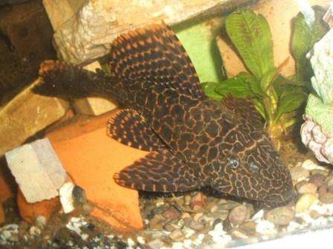 freshwater fish - glyptoperichthys gibbiceps - sailfin pleco (l-83) stocking in 70 gallons tank - pleco