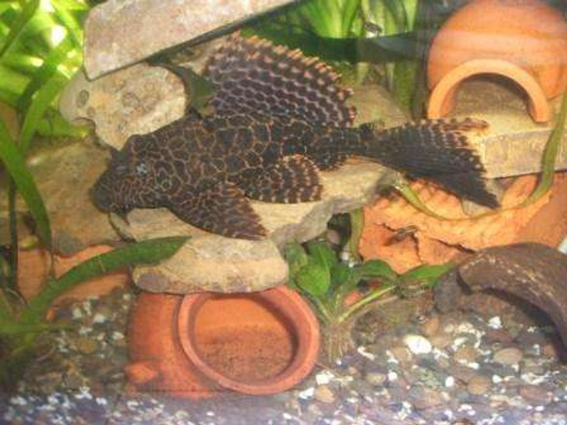 freshwater fish - glyptoperichthys gibbiceps - sailfin pleco (l-83) stocking in 70 gallons tank - pleco1