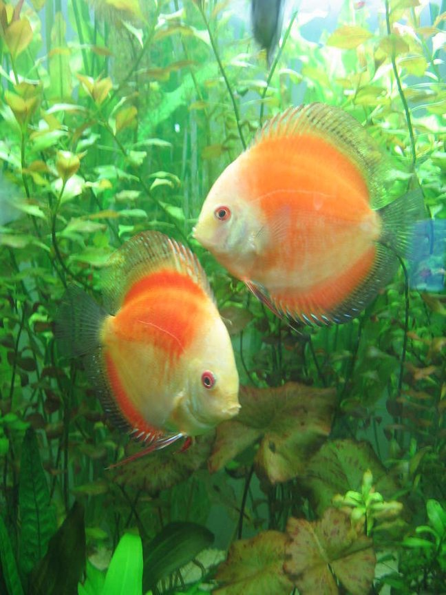 freshwater fish - symphysodon sp. - red marlboro discus stocking in 85 gallons tank - my discus