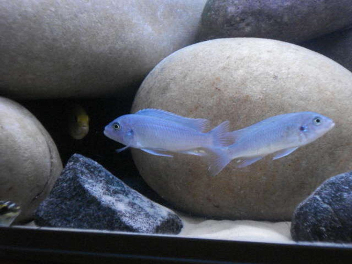 freshwater fish - maylandia callainos - blue cobalt cichlid stocking in 76 gallons tank - Callainos
