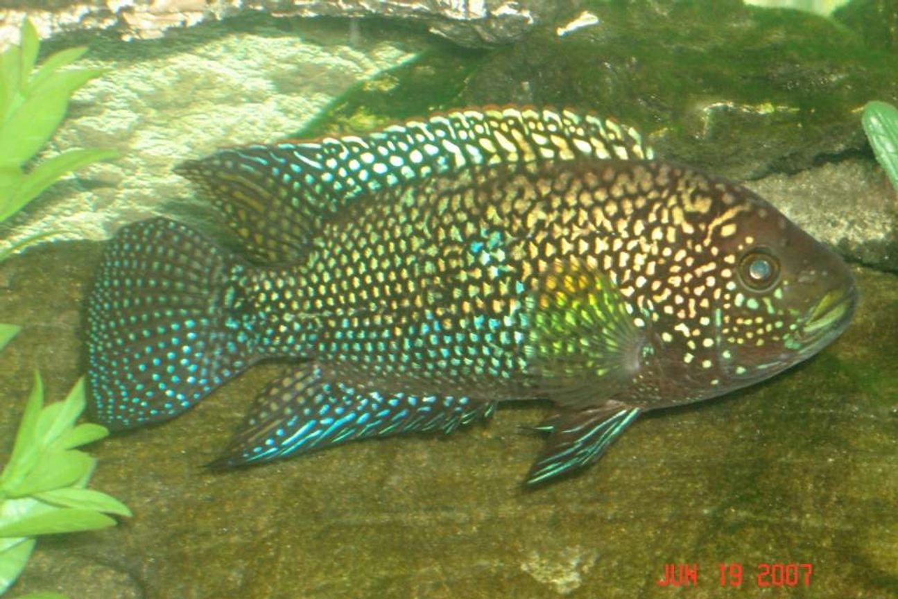 freshwater fish - nandopsis octofasciatum - jack dempsey stocking in 55 gallons tank - this is my jack dempsey
